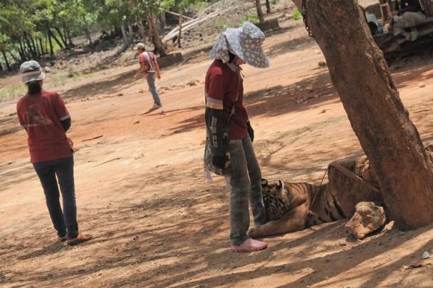 Cuidadores con un tigre en el Templo de Kanchanaburi. (Mónica G. Prieto)