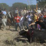Un hombre apuntilla a un toro de la Vega agotado y gravemente herido/ Wikipedia