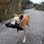 Una perrita lleva en la boca el cadáver calcinado de su cría